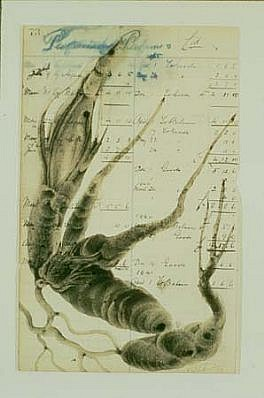 Virgil Grotfeldt, Healing Plants 1996, coal dust, watercolor on paper