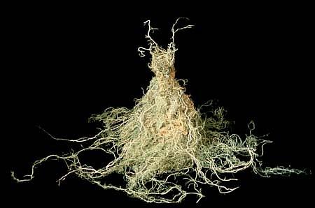 Susan Freda, Moss Apparition 1999, usnea moss